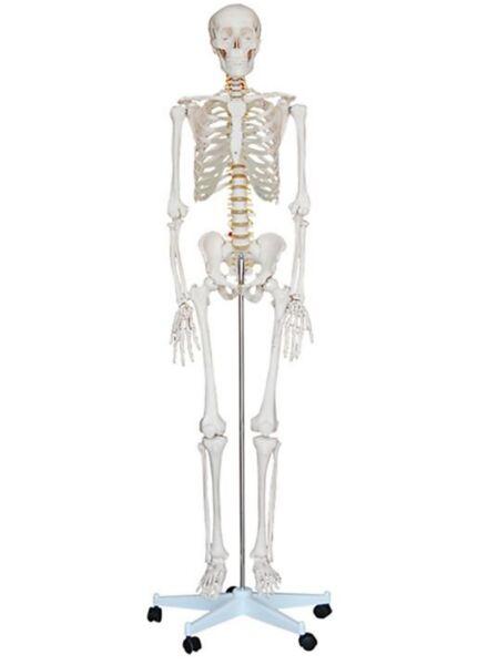 Squelette taille réelle | Equipements de Rééducation